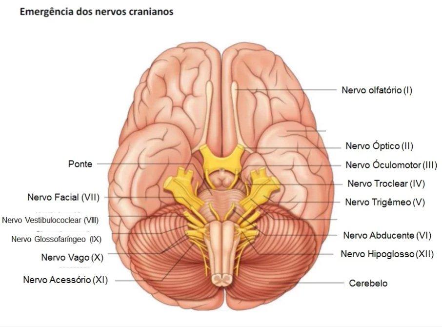 Emergência dos nervos cranianos
